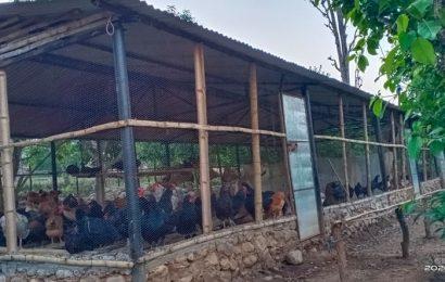 भारद्वाज कृषि फार्म लोकल कुखुरापालनमा प्रख्यात